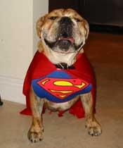 bulldog-superman